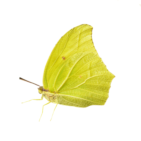 Yellow-colored male of the white angled-sulphur butterfly, Anteos clorinde, isolated on white background. Color saturated. 스톡 콘텐츠