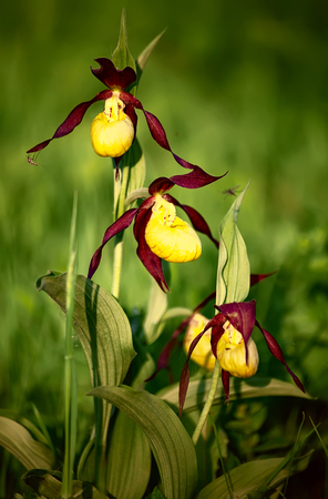 Ladys slipper orchid, Cypripedium calceolus, a rare endangered European plant, is pictured in the wild. Three flowers with yellow lip and long curled brown petals are seen on blured background. Stok Fotoğraf