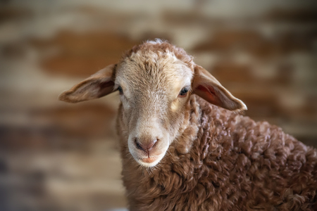 A portrait of a sheep over neutral biege background. The sheep looks straight ahead to the camera with stupid expression