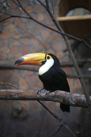Toco Toucan, Ramphastos toco, is sitting on a bough against neutral grey background, side view. The exotic south american bird has black plumage with white chest, big yellow beak and blue-bordered eye Stok Fotoğraf