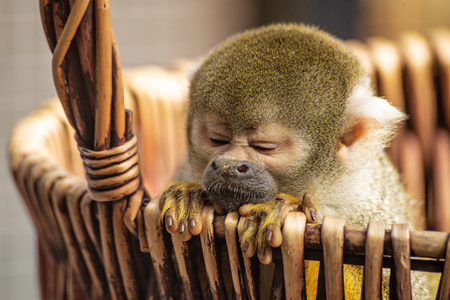 Common squirrel monkey, Saimiri sciureus, is leaning out of a basket. The little monkey has cute fingers, touching snout, and golden fur. It has narrowed its eyes with funny facial expression.