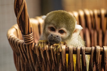 Common squirrel monkey, Saimiri sciureus, is leaning out of a basket. The little monkey has cute fingers, touching snout, and golden fur. Stok Fotoğraf