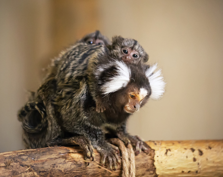 A common marmoset monkey mother with little babies on its back. The monkey is very small. It has white hashlocks near ears. Blurred neutral background. Stok Fotoğraf
