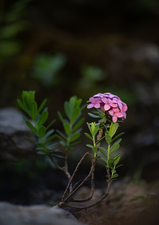 Small shrub of rose daphne or garland flower, Daphne julia or Daphne cneorum. A tiny bush with tender pink flowers is pictured in soft colors on blurred background Standard-Bild
