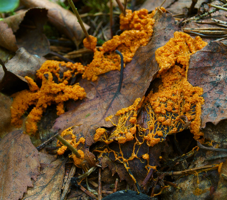 An orange veiny and granular plasmodium of a Physarum slime mold, or myxomycete, is crawling and spreading on dead leaves. Slime moulds are special organisms that gather from microscopic amoebae Stok Fotoğraf