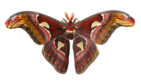Male giant atlas silk moth, Attacus atlas, isolated on white background. Atlas moth is one of the largest moths in the world. It has snake head-like images on tips of wings and feather-like antennae Stok Fotoğraf