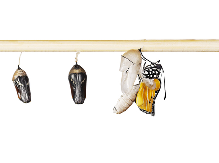 A row of ready to emerge pupae of the plain tiger butterfly, Danaus chrysippus, glued to a stick. One butterfly has hatched from pupa and is expanding its wings. Isolated on white background. Standard-Bild