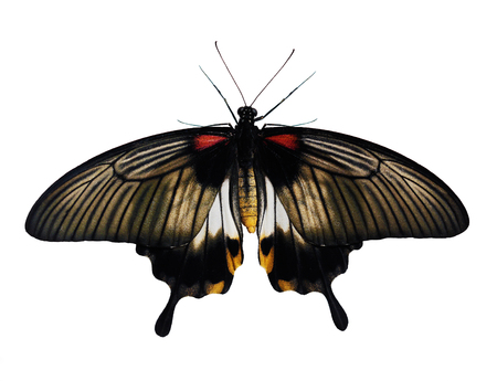 Great Mormon butterfly, Papilio memnon, is isolated on white background. This female butterfly from Philippines has tailes on tips of wings, yellow abdomen, white spots on grey and black background