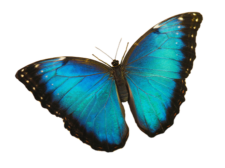 Bright opalescent blue morpho butterfly, Morpho peleides, is isolated on white background with wings open. Stok Fotoğraf