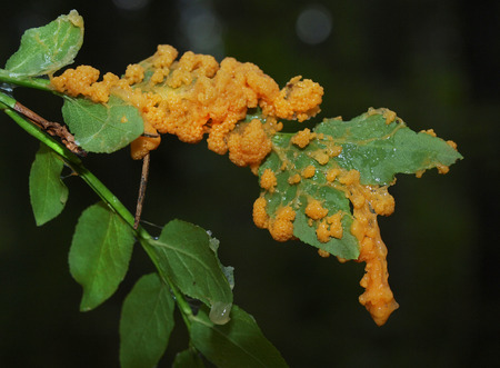 A orange granular maturing plasmodium of a Physarum slime mold, or myxomycete, on moss and grass. Slime moulds are special organisms that gather from microscopic amoebae Stok Fotoğraf