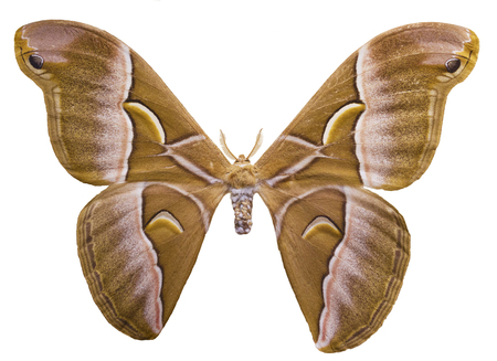 Ailanthus silkmoth, Samia cynthia , is isolated on white background. This is a male speciment of a South-Eastern Asia moth used for the production of technical silk.