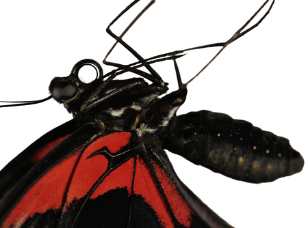 A close-up of a body of the Scarlet mormon, or red mormon female butterfly, Papilio rumanzovia from the Philippines. The butterfly is isolated on white. A big abdomen and legs are seen