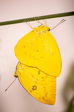 Mating orange emigrant butterflies, Catopsilia scylla, on a stick on grey neutral background. A male butterfly is hanging below a female one, both in bright yellow color Stok Fotoğraf