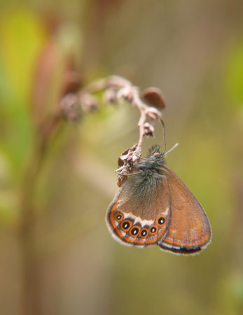 The Scarce heath butterfly, Coenonympha hero, hangs on a plant. Blurred background