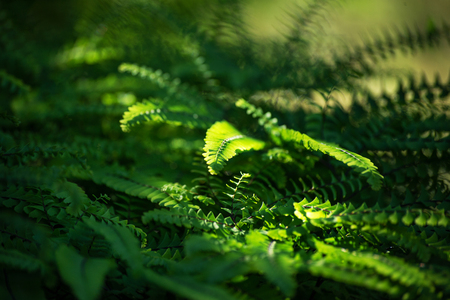 Carved green leaves of a fern lighten with the morning sun form a green background