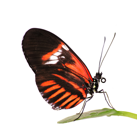 The common postman butterfly, Heliconius melpomene, with red piano key pattern on black is sitting on a leaf. Isolated on white background.