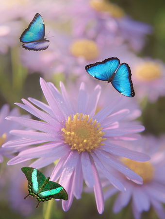 Blue and green butterflies are flying over purple and yellow flowers of Michaelmas-daisy. Blue Morpho and Green Peacock Swallowtail butterflies. Blured background Stok Fotoğraf