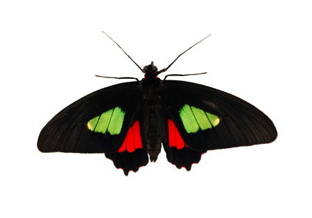 Male of the true cattleheart, or Arcas cattleheart butterfly, Parides arcas or Parides eurimedes, is isolated on white background. The butterfly has bright green and red spots on black wings