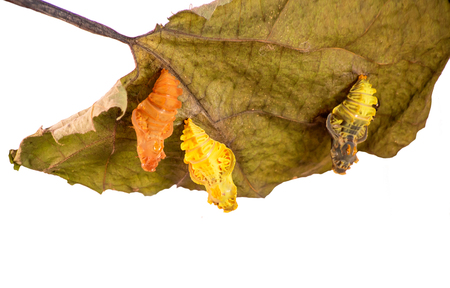 Three pupae of the Chinese windmill butterfly, Atrophaneura or Byasa alcinous, on a dry pipevine leaf isolated on white background. A young yellow pupa, a darken ready to emerge one and an empty shell Standard-Bild