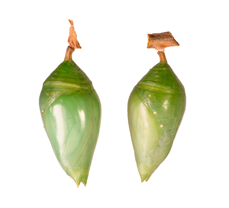 Two pupae of morpho butterflies isolated on white background. Blue-banded morpho, achilles, left, and blue morpho, peleides or helenor, right. Pupae is a stage between caterpillars and butterflies. Standard-Bild