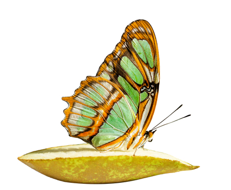 The malachite butterfly, Siproeta stelenes, is feeding on a piece of pear with wings closed. The butterflys wings are colored in yellowish green with brown bands. Isolated on white background