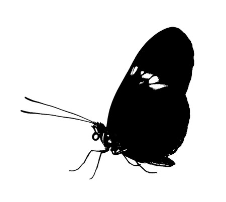Black butterfly is isolated on white background. The common postman butterfly, Heliconius melpomene, color change to black