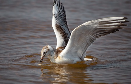 A young black-headed seagull, Chroicocephalus ridibundus, is swiming in the water. The bird is beating its wings ready to fly, to dive or to cach food.