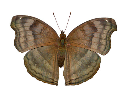 The brown-colored chocolate pansy or chocolate soldier butterfly from Asia, Junonia or Precis iphita, , is isolated on white background with wings open 스톡 콘텐츠