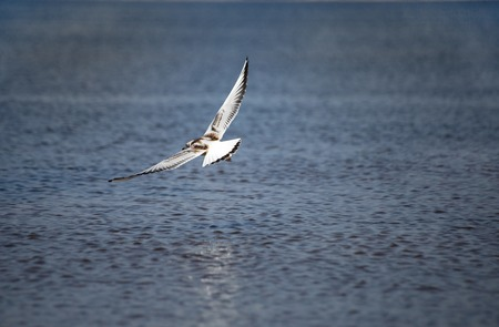 A young black-headed seagull, Chroicocephalus ridibundus, is flying over the water. The wings of a bird are wide open as it is hovering over the sea