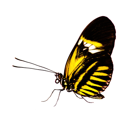 The common postman butterfly, Heliconius melpomene, with piano key pattern on black is isolated on white background. Color chande to yellow 스톡 콘텐츠