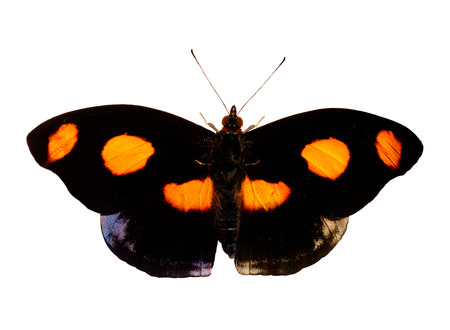 A butterfly opened its black wings with bright orange spots. Its is a male Grecian shoemaker, blue-frosted banner, or stoplight Catone butterfly, Catonephele numilia. Isolated on white background.