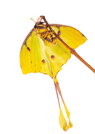 African moon moth, Argema mimosae, is laying eggs on a twig. Isolated on white background. The moth is yellow, big, has long tails on its wings. Moths look like butterflies but fly at night.