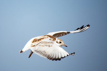 A young black-headed seagull, Chroicocephalus ridibundus, is flying against the light blue sky. The bird is white with grey, brown and black. The wings of a bird are open in beating and waving. Standard-Bild