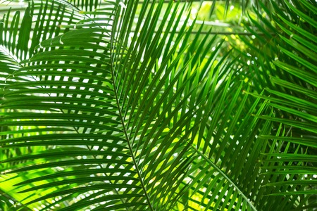 Several green palm leaves lighten with the sun, one behind another, form a checked pattern, or ornamental background. A conservatory of the botanical garden in St Petersburg, Russia Standard-Bild
