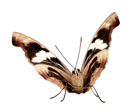 A female Grecian shoemaker, blue-frosted banner or stoplight Catone butterfly, Catonephele numilia sits with half-open wings brown with a white ribbon from underside. Isolated on white background