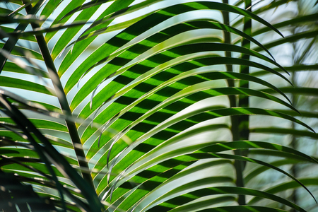 Several green palm leaves lighten with the sun, one behind another, form a striped pattern, or ornamental background. A conservatory of the botanical garden in St Petersburg, Russia