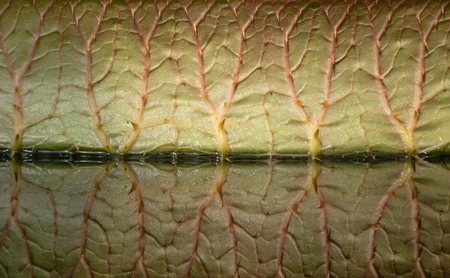 A giant leaf of Victoria amazonica with veins and air chambers and its reflection in a pond of a water conservatory of the St Petersburg botanical garden, Russia. Side view. Strange veiny background. Standard-Bild