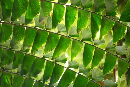 A fragment of a leaf of a fishtail palm, or wine palm, Caryota urens, lighten with the sun. The folioles look like triangle signal flags forming an ornamental background.
