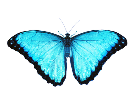 Bright opalescent blue morpho butterfly, Morpho peleides, is isolated on white background with wings open. Blue color is enhanced to make it even bluer.
