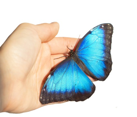 Blue morpho butterfly, Morpho peleides, sits on girl's hand. The butterfly opened its iridiscent sparkling blue wings on a child's palm. Isolated on white background