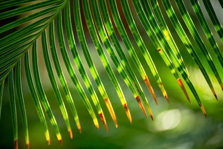 A green palm leaf lighten with the sun form a striped pattern, or ornamental background. A conservatory of the botanical garden in St Petersburg, Russia
