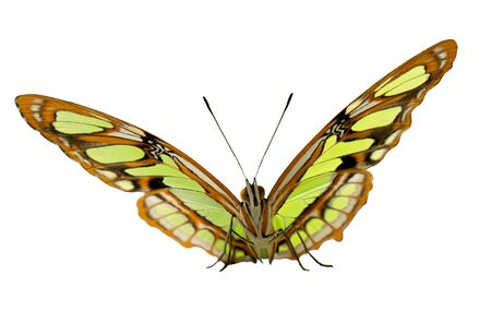 The malachite butterfly, Siproeta stelenes, is pictures full face. The sitting butterfly half-opened its wings with yellow-green spots on brown. Isolated on white background