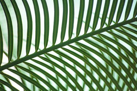 A green palm leaf on white background forms a striped pattern, or ornamental background. A conservatory of the botanical garden in St Petersburg, Russia Standard-Bild