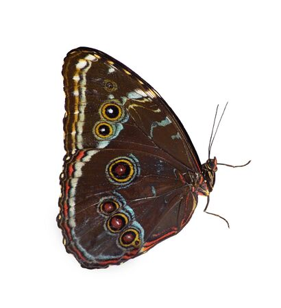 Blue-banded morpho butterfly, Morpho achilles, is isolated on white background with closed wings. Brown underside of the wings with multiple eyespots painted in white and red is seen. Standard-Bild
