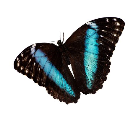 Blue-banded morpho butterfly, Morpho achilles, in flight is isolated on white background. A butterfly has a bright sparkling blue opalescent band on each wing Standard-Bild