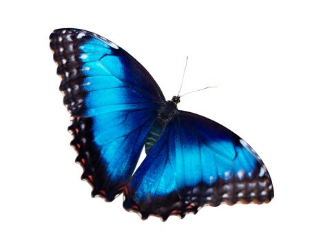 Bright iridescent female blue morpho butterfly, Morpho peleides, is isolated on white background with wings wide open. 스톡 콘텐츠