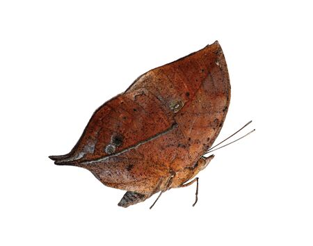 The orange oakleaf, Indian oakleaf or dead leaf butterfly, Kallima inachus, is isolated on white background with wings closed. The butterfly with closed wings strikingly resembles a dry leaf. Standard-Bild