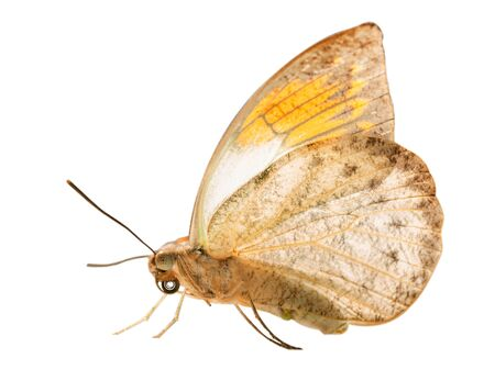 The great orange tip butterfly, Hebomoia glaucippe, is isolated on white background with wings closed. The underside of the butterfly resembles a dead leaf, but orange tips are seen on grey 스톡 콘텐츠