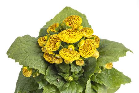 calceolaria: Borsa pantofola fiore della signora Calceolaria Herbeohybrida isolato su bianco Archivio Fotografico