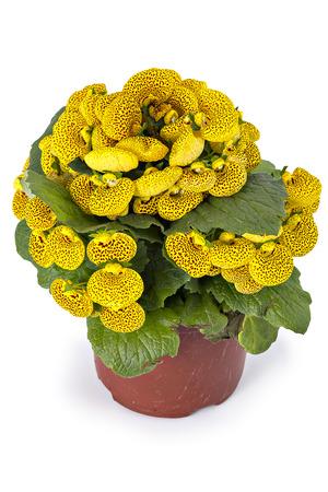 calceolaria: Ladys purse slipper flower Calceolaria Herbeohybrida isolated on white